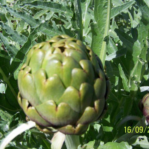 Geen Globe Artichoke Seeds